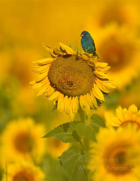 other visiting birds at the sunflower field show me