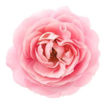 Rosa Blumen by Blumen Und Ihre Symbolik Valentinstag 2019
