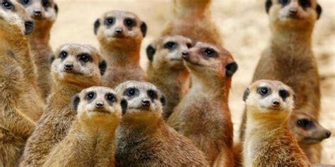 studie erdmaennchen  zoos lieber  grossen gruppen