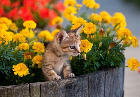 Chrysanthemen » Giftig Für Katzen?