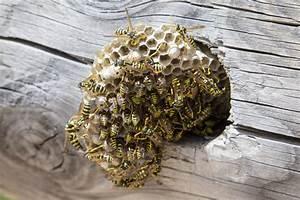Stehen Wespen Unter Naturschutz : wespen und wespennest erkennen entfernen und bek mpfen plantura ~ Whattoseeinmadrid.com Haus und Dekorationen