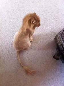 cat shaved like a lion | p e t | p e e v e s | Pinterest