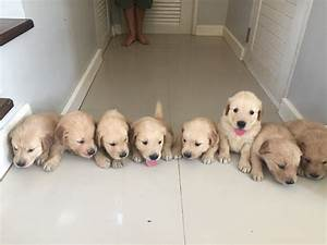 Golden Retriever Puppies Newborn to 12 weeks time-lapse ...
