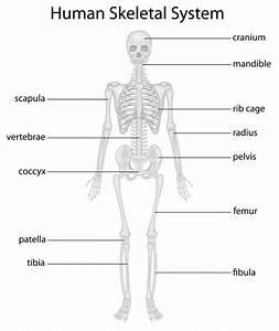 Skeletal System Organs