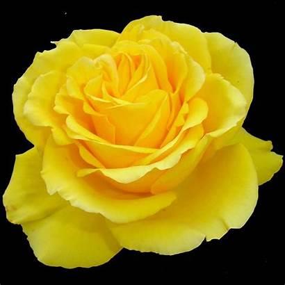 Yellow Rose Flower Background Acrylic Simpson Harrington