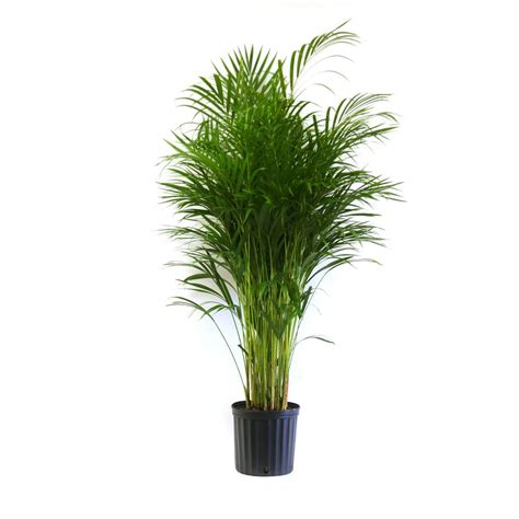 indoor plants low maintenance delray plants 9 1 4 in areca palm in pot 10areca the