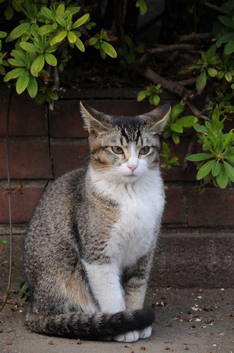 tabby cat colors mackerel tabby colors bruin