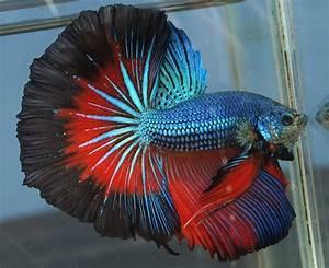 Rare Betta Fish   ... posts 136 aquaone betta barracks ...