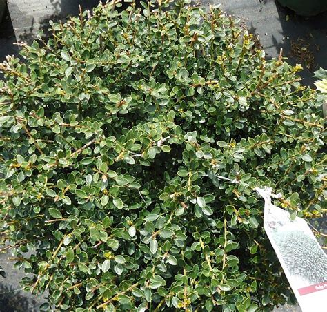 bush in japanese japanese holly info how to care for japanese holly plants