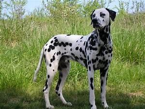 Dalmatian - Breed Profile | Australian Dog Lover