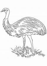 Emu Coloring Bird Flightless sketch template