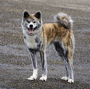 american akita dog