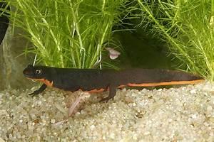 Tiere Für Aquarium : haltung von molchen ein herz f r tiere magazin ~ Lizthompson.info Haus und Dekorationen