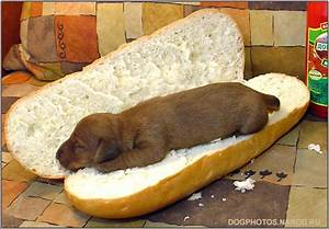 Hot Dog, Dachshund puppies photos