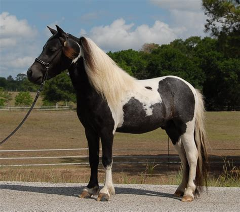 pet horse miniature pets mini care healings very sessions distant powerful him days happy sold conformation