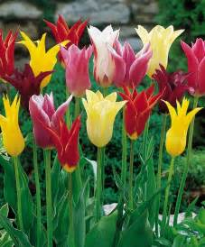 calla bulbs the flowering tulip mix tulip mixtures tulips