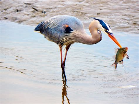 Great Blue Heron Archives