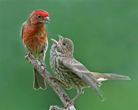 pictures of house finches bird house finch philip schwarz photography