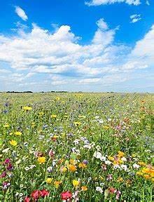 Wiese Mit Blumen : blumenwiese wikipedia ~ Watch28wear.com Haus und Dekorationen