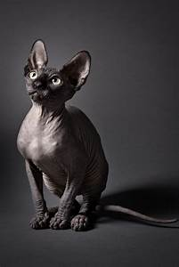 sphynx cat oh what a year thanks for the thousands of