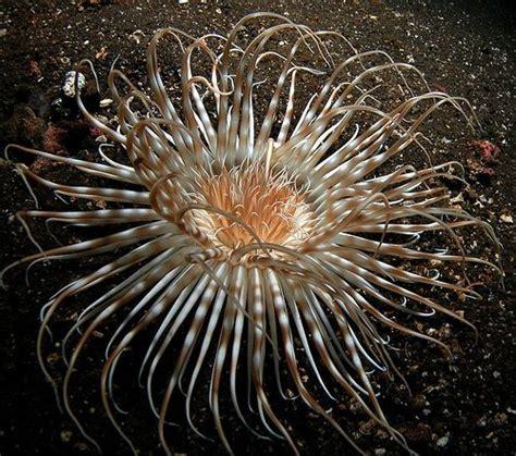 Sea Anemone Saltwater Life Sea Anemone Sea Sea Creatures