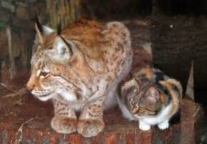 lynx cats homeless cat sneaks into zoo and becomes friends with a lynx