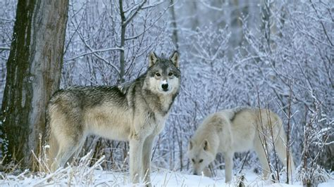 Wolf Desktop Wallpaper Hd by Wolf Wallpapers Hd Pictures One Hd Wallpaper Pictures