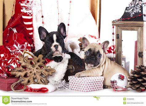 christmas french bulldog stock photo image