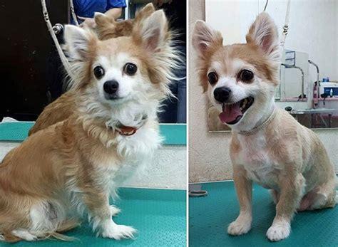 long haired chihuahua haircuts  paws
