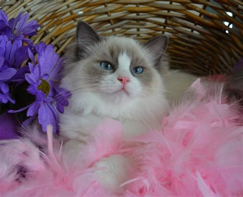 Kelanrowe Ragdoll Cats And Kittens