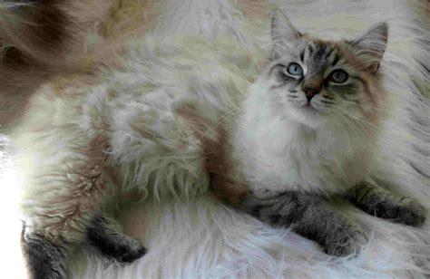 cat breeders siberian cat purrfect cat breeds