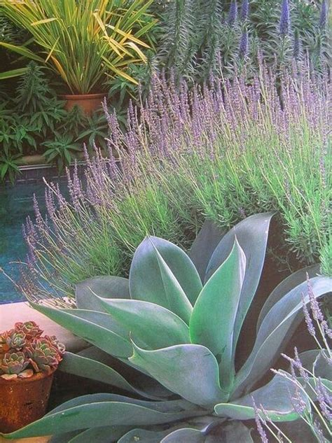 agave tree and landscape agave attenuata and lavender phormium in pot echium succulents plants landscapes
