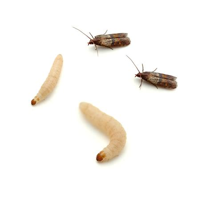 pantry moth natural solutions wendyl 39 s
