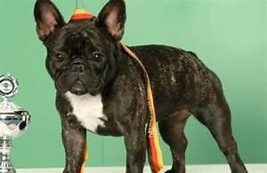 Hundebekleidung Französische Bulldogge : franz sische bulldogge vdh rasselexikon 2017 ~ Frokenaadalensverden.com Haus und Dekorationen
