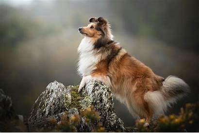 Shetland Sheepdog Background