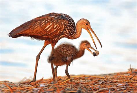 rare birds moving  urban lakes canals south florida