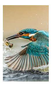 Free download Kingfisher Bird With Caught Fish Desktop ...