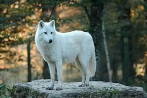Bébé Loup Blanc : photo loup blanc ~ Farleysfitness.com Idées de Décoration