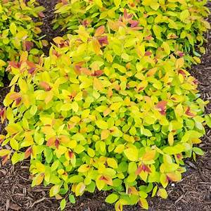 Spring Hill Nurseries 2 5 Qt  Magic Carpet Spirea  Spiraea   Live Dediduous Plant  Red Flowers