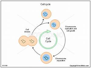 Cell Cycle Illustrations