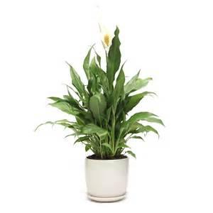 Peace Lily Pots Ceramic