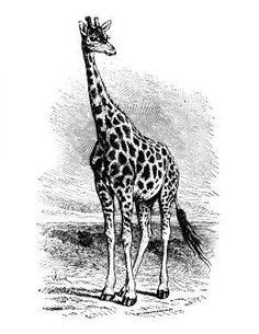 Free Printable Giraffe Coloring Pages For Kids   Giraffe