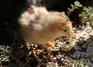 chick - Wiktionary  Chick