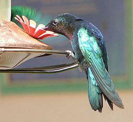 kolibri bedeutung bedeutung der krafttiere der kolibri