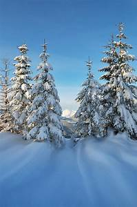 coniferous, trees, in, the, snow, stock, photo
