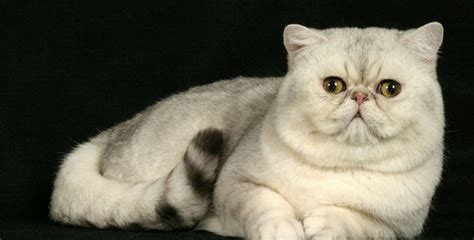 gatti persiani a pelo corto gatto shorthair il persiano a pelo corto holidog