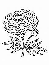 Coloring Pages Flower Marigold Printable Flowers Marigolds Mycoloring sketch template