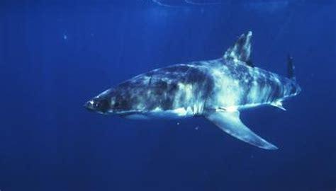 list  deep sea sharks animals momme