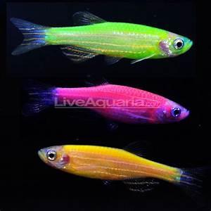 BIOL1020 Semester 2 (2012): Glow in the dark fish