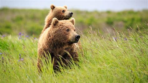 wallpaper bear cute animals grass  animals